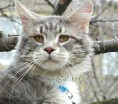 Крупный котик мейн куы в разведение. Дата рождения