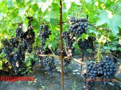 Саженцы винограда ранних сортов  Кодрянка