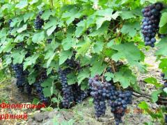 Саженцы винограда универсальных сортов  Фиолетовый