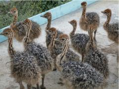 Young growth of ostriches
