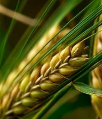 Barley grain summer