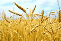 Barley summer, from the producer
