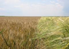 Barley APO Peremoga, summer from the producer
