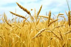 Barley summer, producer of APO Peremoga