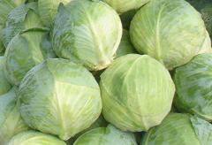 Cabbage fresh wholesale, expor