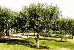 Деревья фруктовые, Саженцы деревьев, семена