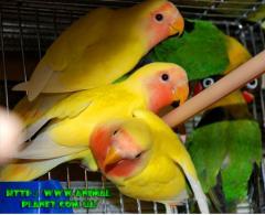 Nerazluchniki Fischer fosterlings green and yellow