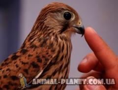 We offer manual young falcons