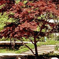Клён веерный, дланевидный  Acer palmatum
