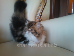 Kittens Persian extreme type. K¾trin Sharm.
