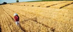 Seeds of winter barley Luran