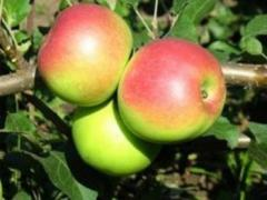 Яблуня Уелсі