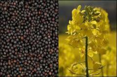 Colza seeds