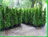 Крупномерние дерева
