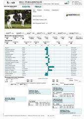 Sperm of a bull of Tibol