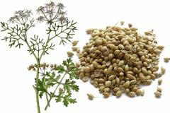 Coriander wholesale harvest of 2015