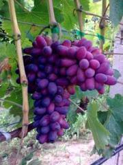 Grapes grade Karmakod