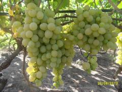 Grapes saplings Demetra