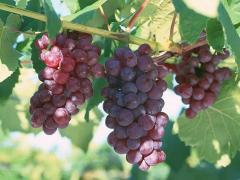 Саженцы винограда  ДСП