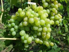 Grapes saplings Kesha