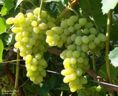 Grapes saplings Pleven