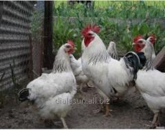 Probiotics for laying hens.