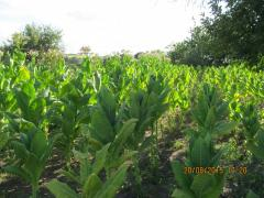 Tobacco sheet different grades, in t.ch and seeds