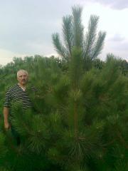 Crimean pine, saplings from nursery