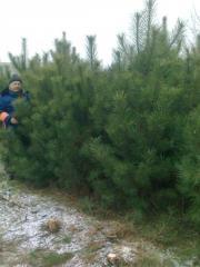 Crimean pine krupnomer saplings