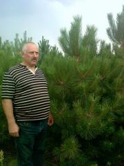 Crimean pine from nursery on landing