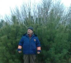 Crimean pine, nursery, on change