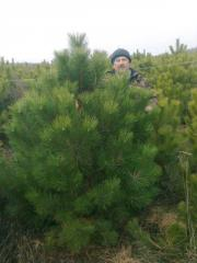 Crimean pine, direct deliveries from nursery