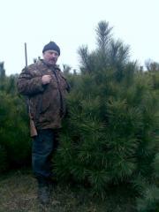 Pine Crimean live New Year's, nursery