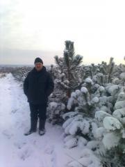 Pine live novogodnya, Christmas, pine Crimean (1,5