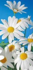 "Photowall-paper ""White daisies"