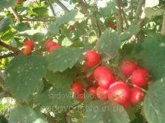 Семена боярышника Китайского