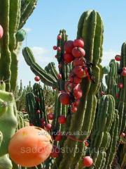 Перуанский яблочный кактус