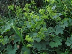 Приворотень звичайний, трава(50 грам.0.5 літра)