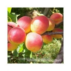 Apricot Peach