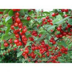 Downy Cherry