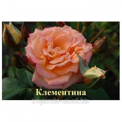 Rosa Clementina