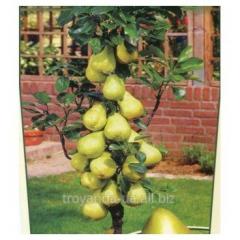 Kolonnovidny pear of G-1 (winter)