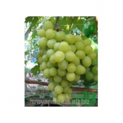Grapes Valek