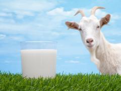House goat Ukraine milk