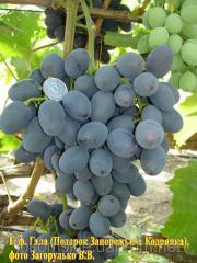 Саженци столового винограда сорт Гала