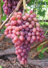 Саженци винограда столового Кишмыш Лучистый