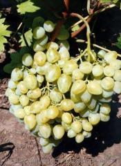 Саженци винограда АРКАДИЯ