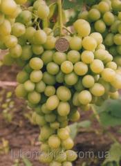 Саженци винограда Благовест