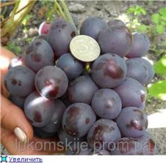 Саженци винограда Рождественский