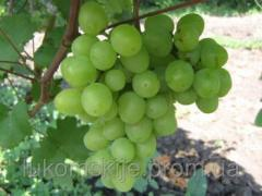 Саженци винограда Супер Экстра